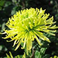 хризантемы.... :: Марина Брюховецкая