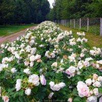 роза :: Laryan1
