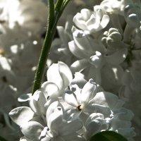 Белая сирень :: Надежда Лаптева