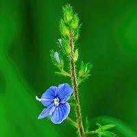 Лесной цветок :: Анатолий Клепешнёв