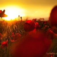 Закат над маковым полем :: Аня Смирнова