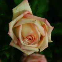 Роза :: Andy Bayt