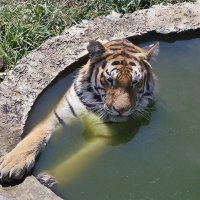 Тигру жарко :: Андрей Дворников