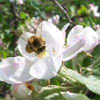 пчела в яблоневом цвету :: Галина Pavel