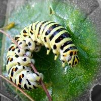 Гусеница бабочки Махаон. :: Елизавета Успенская