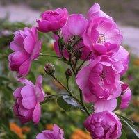 Вьющаяся роза :: Владимир Кроливец