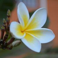 цветок :: Roman Skrypnyk