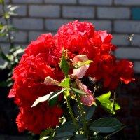 Розы :: Анна Пацакула