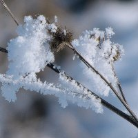 снег на репейнике :: юрий иванов