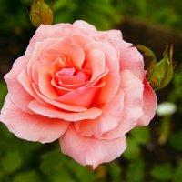 роза :: Михаил Корнев