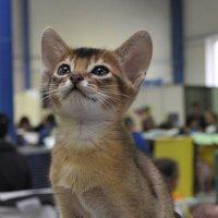 Выставка кошек :: Вячеслав Гостев