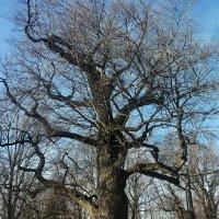 Вероятно самый древней дуб из заповедной дубовой рощи в Коломенском :: Владимир Прокофьев