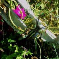Среди веток паучок смастерил себе сачок.Паутинка так легка! Славный дом у паука :: Ольга Кривых