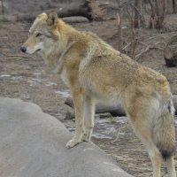 Серый волк... :: .civettina ...