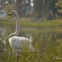 Лебедь :: Александр Ивашков