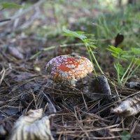 Гриб в лесу :: Олег Седов