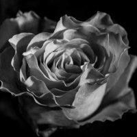 роза :: Erizo Espinoso