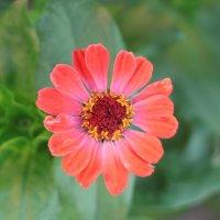 Цветок :: Елена Пышнограева
