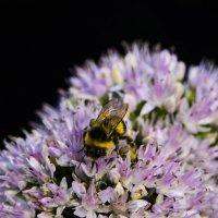 Пчела :: Алексей Павлов