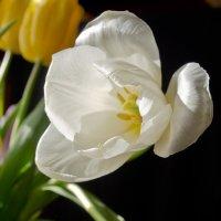 Мартовские тюльпаны :: Александр Крупский