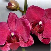Орхидея :: Аnna M...