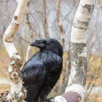 Чёрный ворон что ты вьёшься!!!! :: Олег