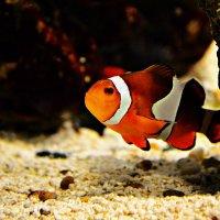 Рыба-клойн :: Анастасия Посикера