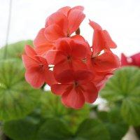 Цветок лососевого цвета :: Карина Гурьянова