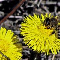 первые пчелы :: юрий иванов