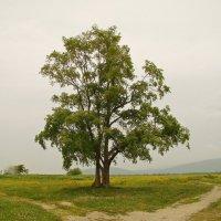 Сахалин Любимое дерево :: Александр Ваюш