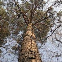 Вот такие у нас деревья в лесу. :: Игорь Бойко