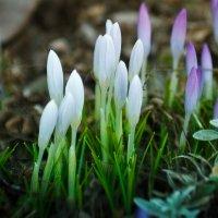 Весна идет... :: алексей афанасьев