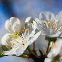 цветение :: Sergey Bagach
