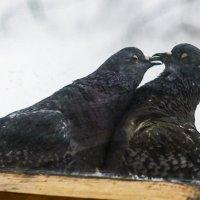 Любовь и голуби за моим окном. :: Вячеслав Овчинников