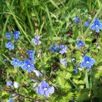 Весенние полевые цветы :: Галина Pavel