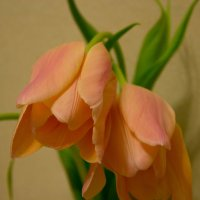 Тюльпаны :: Ольга Канищева
