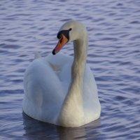 лебедь :: Vitalij P