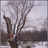 Дерево в Павловске :: vadim