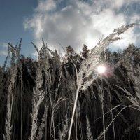 Ковыль трава. :: Нина