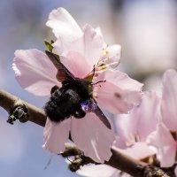 Пчела-плотник :: Александр Земляной