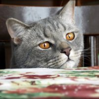 А поесть, сегодня будет? ( Вечно голодный кот) :: лиана алексеева