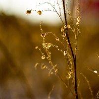Зимнее золото :: Нина Калитеева