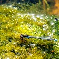 Стрекоза на Шумилинском озере :: Анатолий Клепешнёв