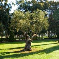 олива в парке :: Лидия кутузова