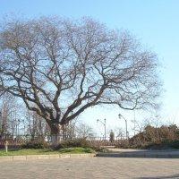 дерево :: александра стаднюк