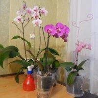 мои орхидеи :: Мария Мазурова