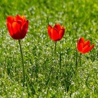 Три тюльпана. :: Юрий