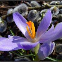 Первый весенний цветочек :: Ирина Голубева
