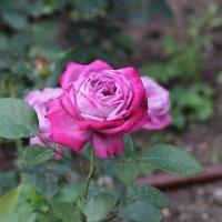 Роза :: Дмитрий Сушкин