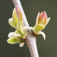 Пробудившись ото сна, кистью мягкою весна нарисует почки... :: Ольга Плаксина